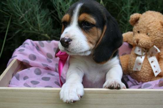 Loving Beagle Puppies