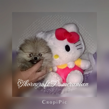 Pomeranian also known as Toy Pom puppies available