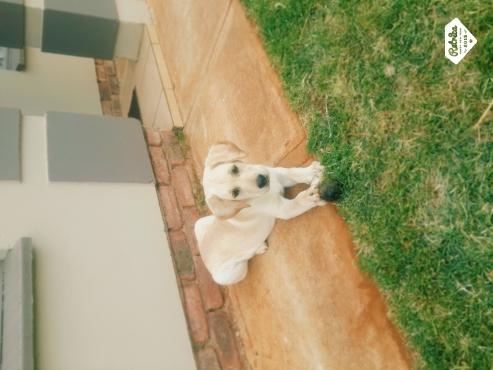 Golden Retriever Labrador yellow puppy for sale