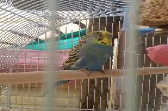 2 Blue budgies with large white cage