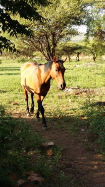 Horse for sale R3000 each