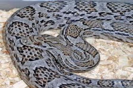 4 Corn snakes for sale/california king snake