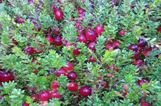 Berry Plants Blueberry Blackberry Goji Berry Raspberries
