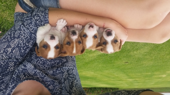 2 Jack Russel Male Puppies