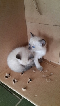 siamese kittens male and female