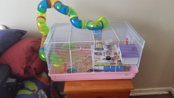 Bush Hamster