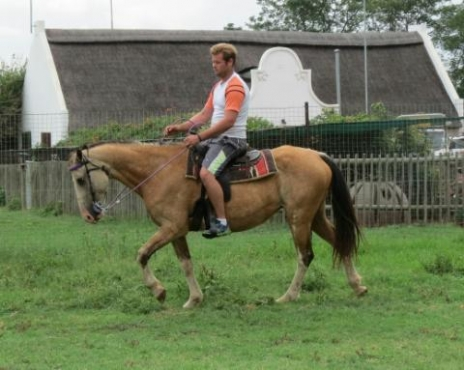 pinto mare under saddle and infoal