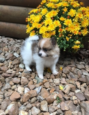 Litter of pomeranian pups ready to go