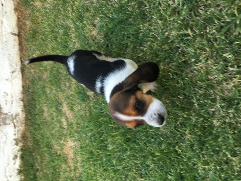 Basset pups for sale.