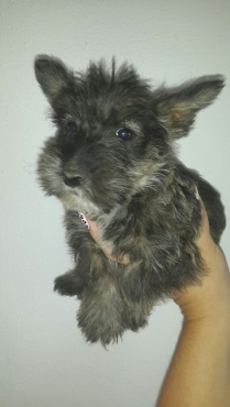 wheaten scotties scottish terrier pups males