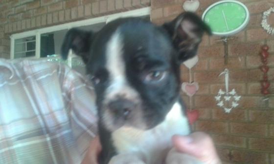 Boston Terrier Male puppy for sale