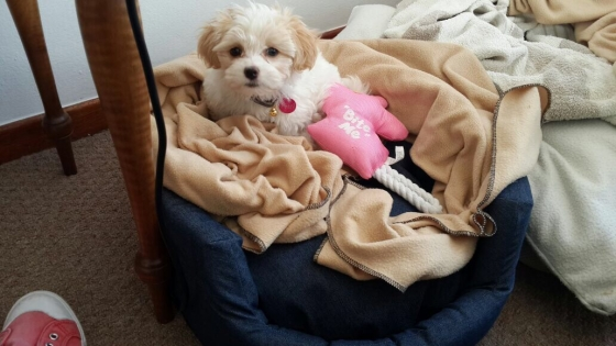 Adorable Maltese Puppies for Sale!