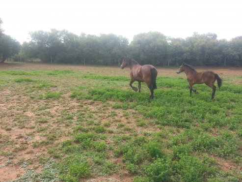 Shire mare with filly