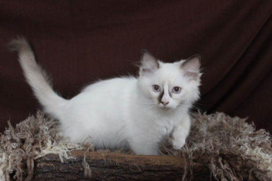 Luxurious Ragdoll Kittens