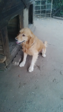 Adult Golden retriever pair for sale!