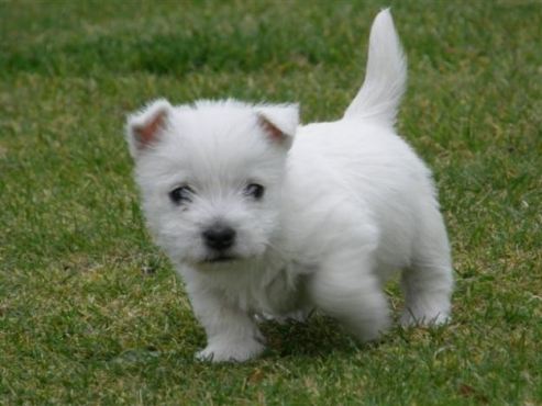 Registered West Highland White Terrier Puppies For Sale