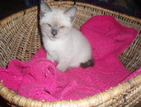 Siamese kitty for sale