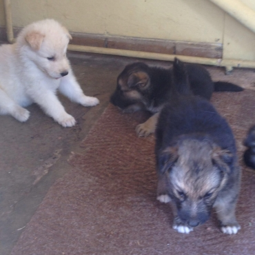 Pure Bred German Shepard Puppies