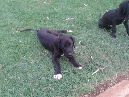 Great Dane Puppy  for sale