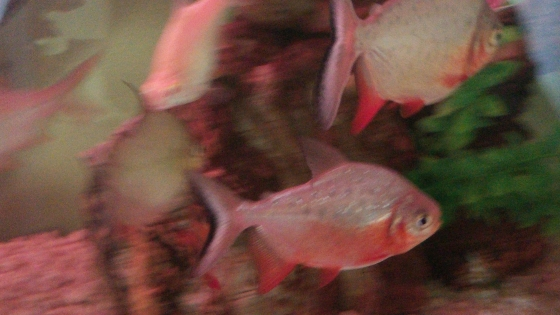 Red Bellied Pacu fish