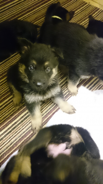 German Shepherd Puppies ready for new homes now