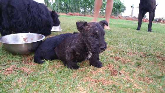 Stunning Purebred Scotties for sale