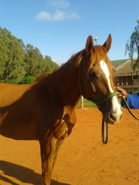 WARMBLOOD   FOR   SALE  !!!    NOT TO MISS