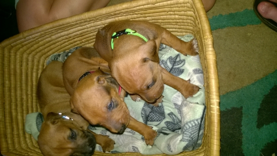 Rhodesian Ridgeback puppies for sale