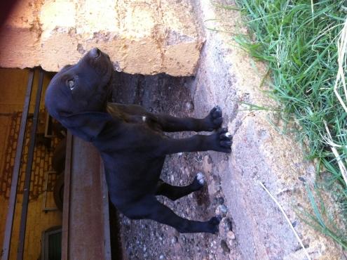 Beautiful Great Dane / Rhodesian Ridgeback puppies