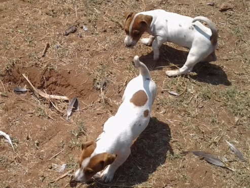 JackRussell 8weeks cute adorable shortleg pups for sale