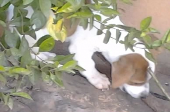 JackRussell 8weeks cute adorable shortleg pups for sale