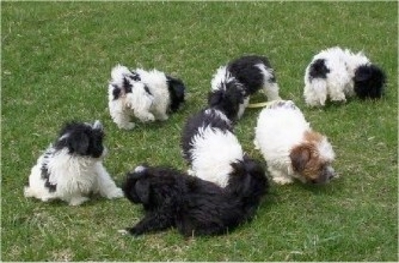 Lovely Maltipoo puppies