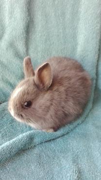 Dwarf cross rabbits