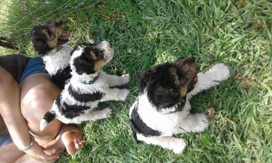 KUSA Wire hair terrier puppies