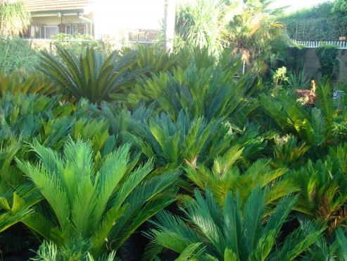PLANTSALE,PLANTUITVERKOPINPLANTE,PLANTS,CYCAS,BOME