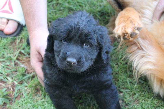 Golden Retriever X Labrador Puppies Junk Mail
