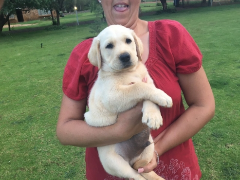 Beautiful pedigree Labrador puppies for sale | Junk Mail