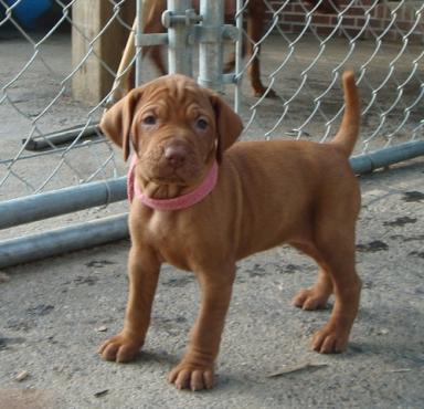 Hungarian Vizsla Puppies for sale . R 4000 Each