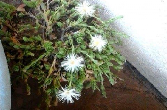 Sceletium Tortuosum Plant - Garden Design Ideas
