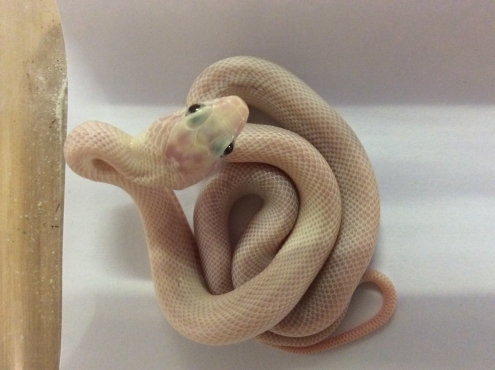 Leucistic Rat Snakes