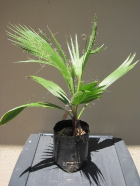 Mexican Fan Palm Plants