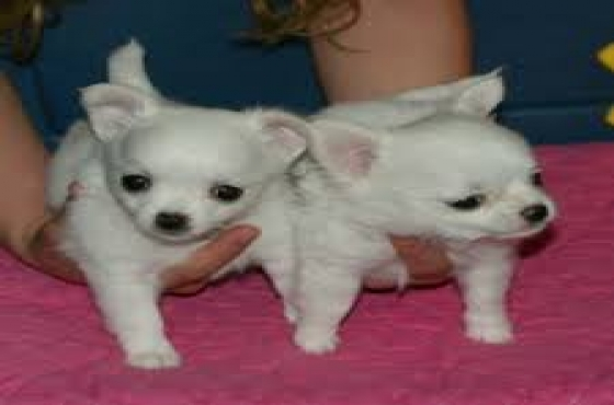 litter of Chihuahua puppies for sale