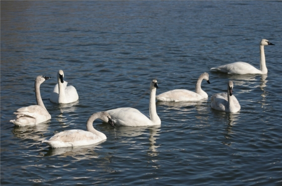 All Types Of swans and Cranes for Sale