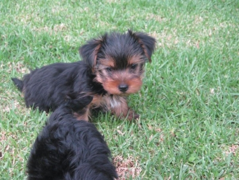 Yorkie Registerd miniature puppies