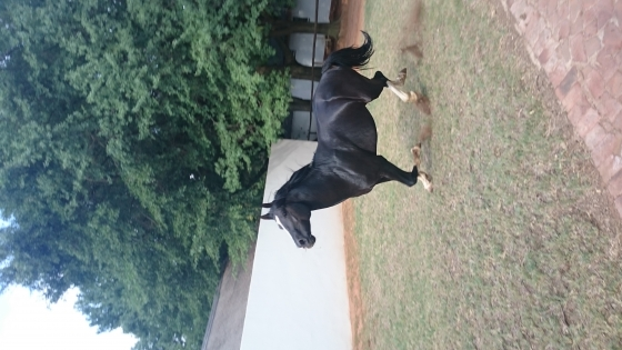 Price reduced! Black Reg. Warmblood X Appaloosa Stallion For Sale