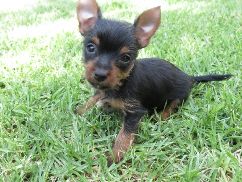 Female Teacup Yorkie X Pincher puppie for sale