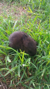 Cute baby nederland dwarf rabbits available