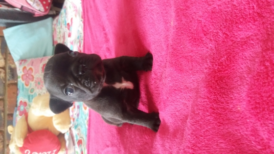 Frenchbulldog female puppy !!!