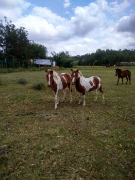 shetland ponie hings