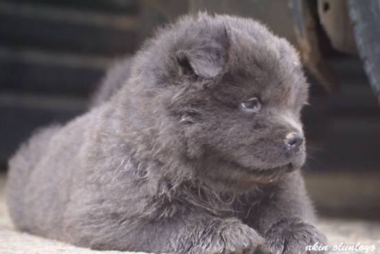 Pedigree chow chow puppies for sale